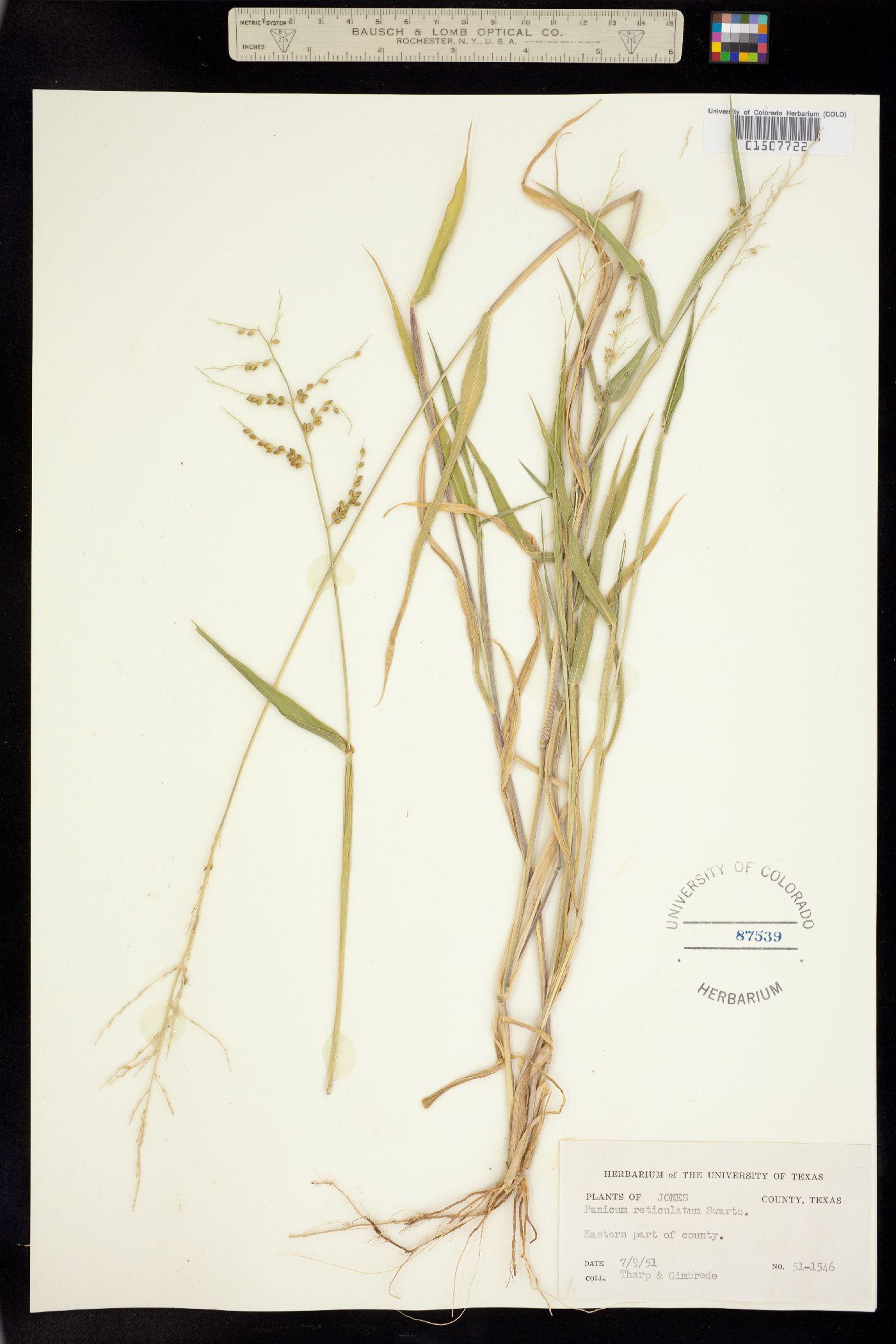 Brachiaria fasciculata image
