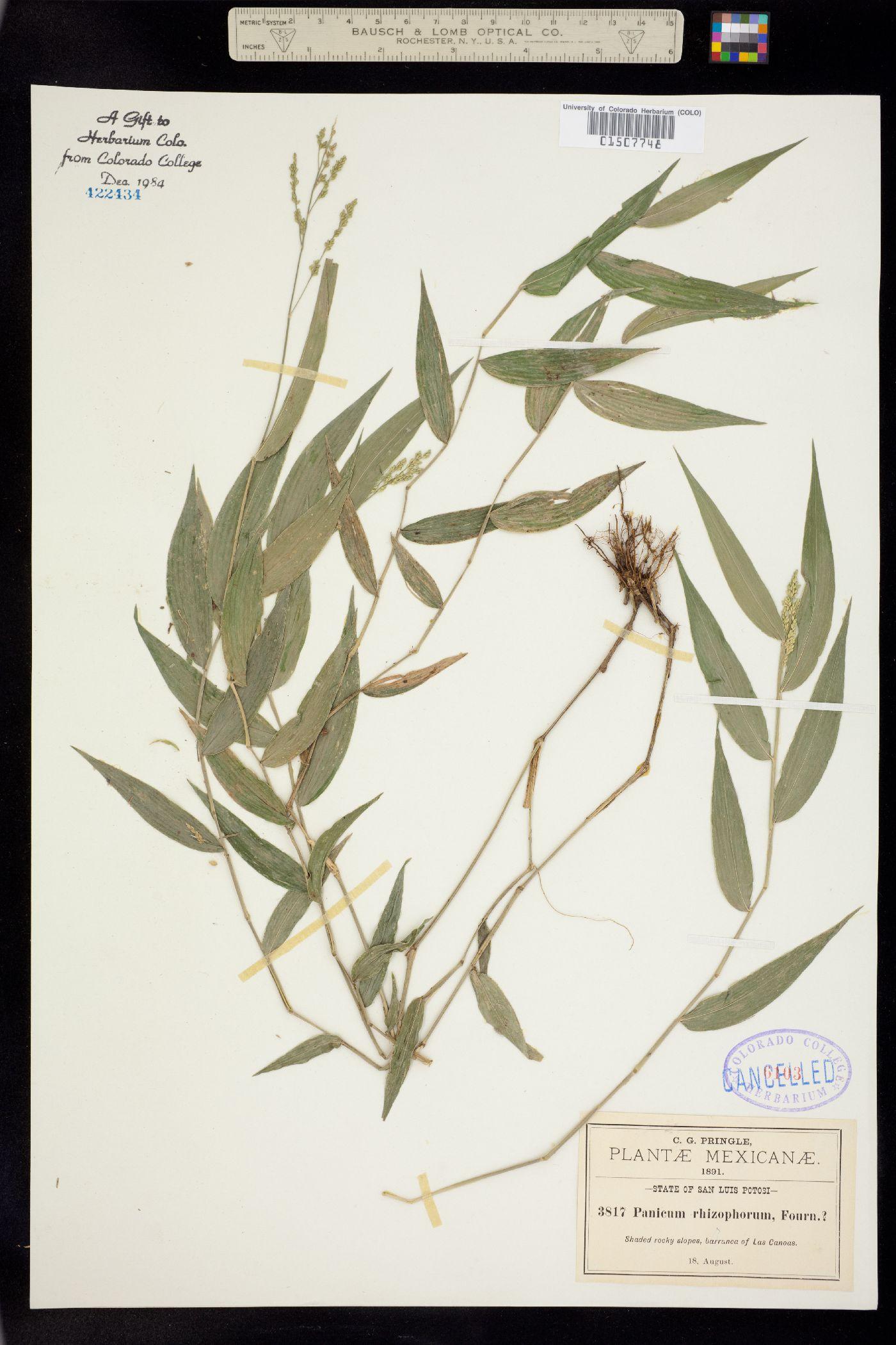 Panicum rhizophorum image