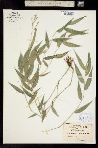 Image of Panicum rhizophorum