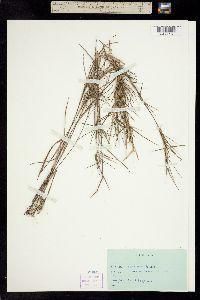 Dichanthelium acuminatum var. densiflorum image