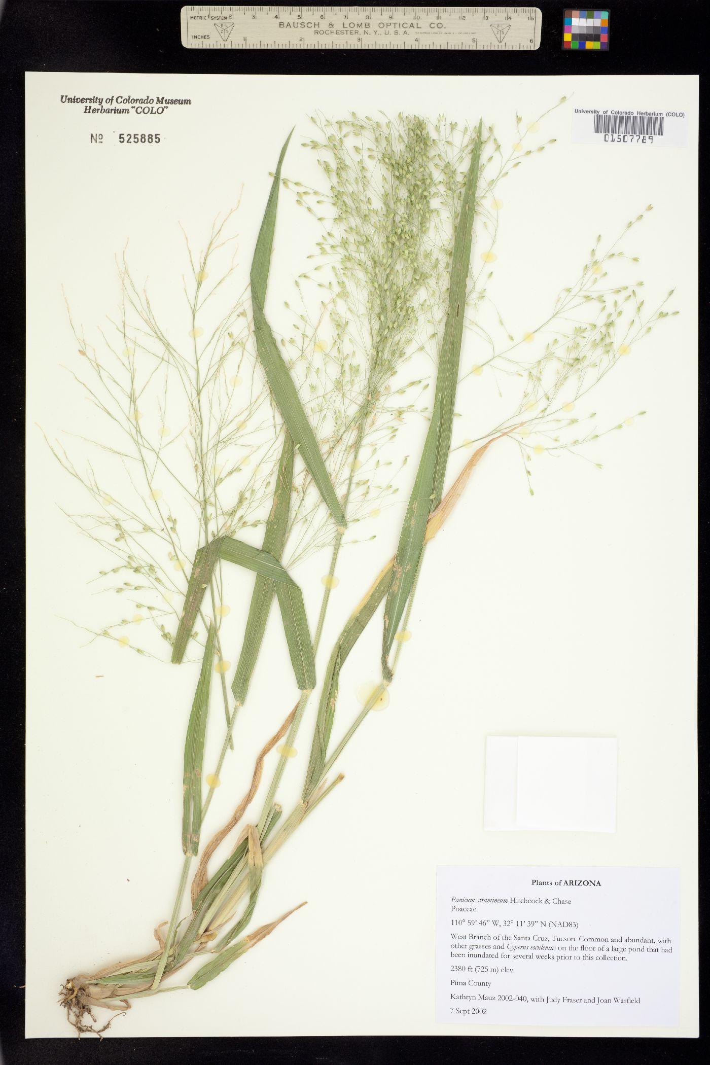 Panicum stramineum image