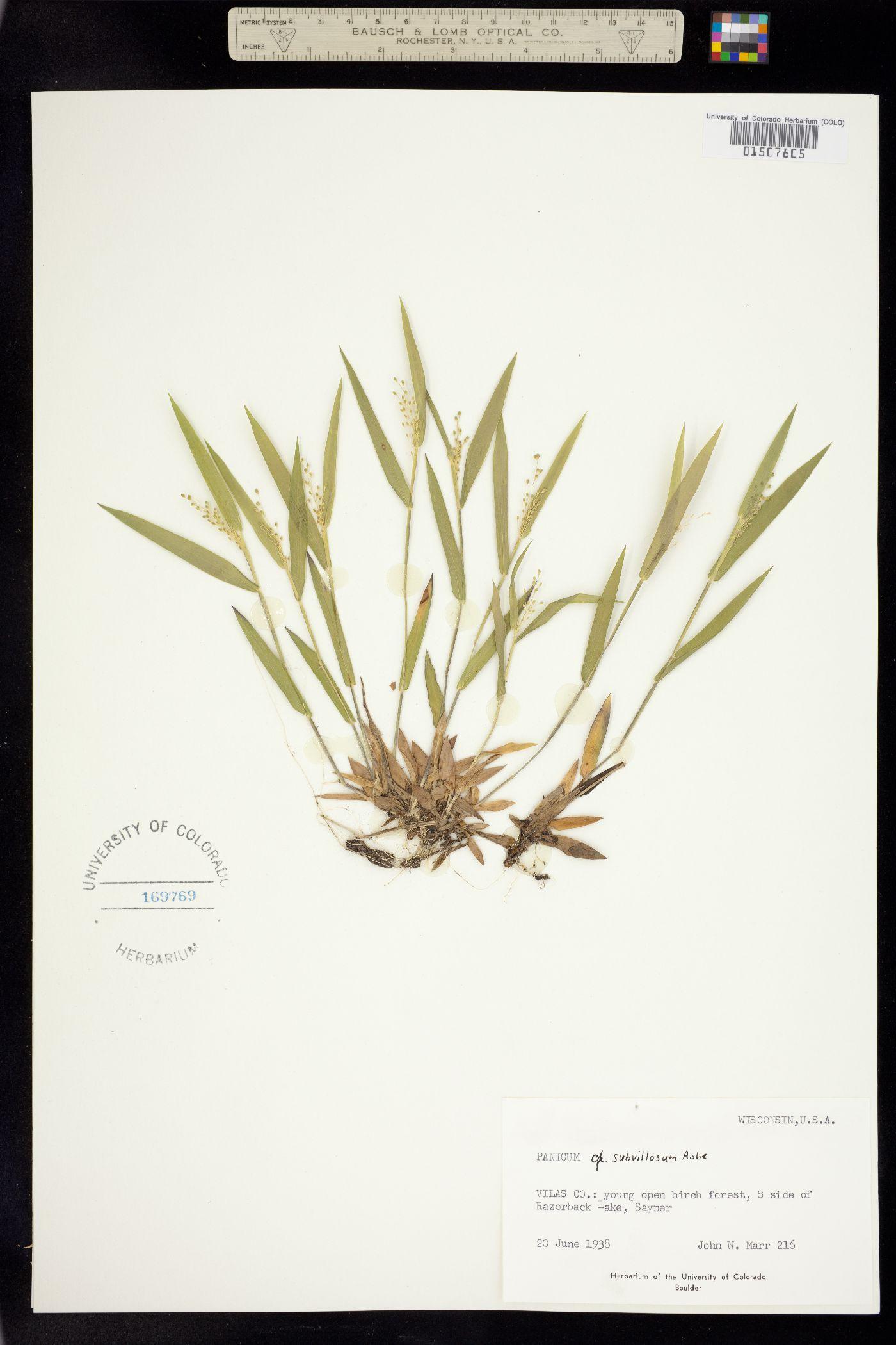Panicum subvillosum image