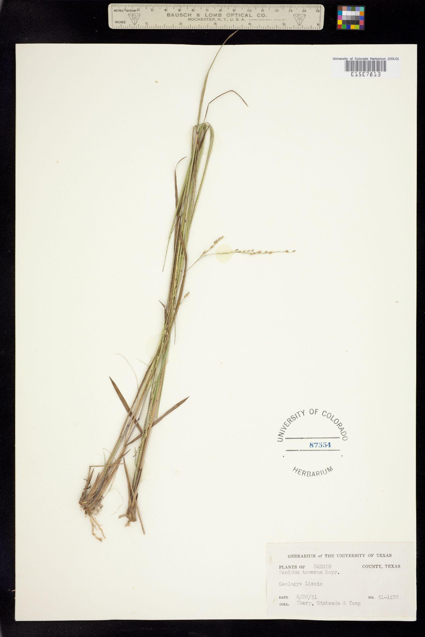 Panicum tenerum image