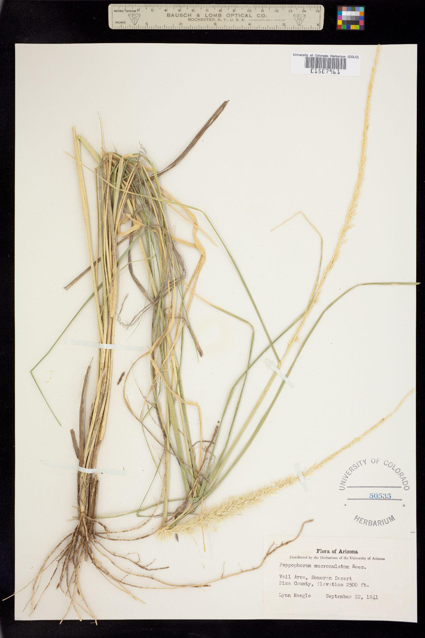Pappophorum mucronulatum image