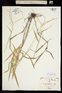 Image of Paspalum conjugatum