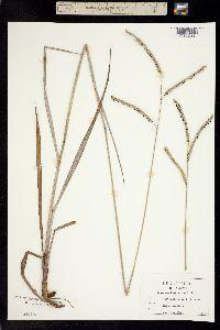 Paspalum floridanum image