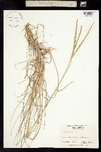 Image of Paspalum notatum
