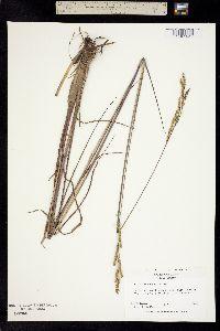 Paspalum praecox image