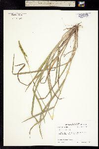 Image of Paspalum praecox