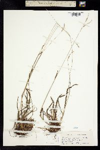 Image of Paspalum pubescens