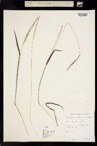 Paspalum pubescens image