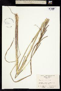 Image of Paspalum urvillei