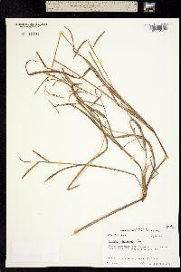Paspalum scrobiculatum image