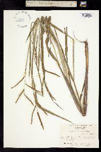 Image of Paspalum scrobiculatum