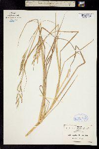 Image of Paspalum denticulatum
