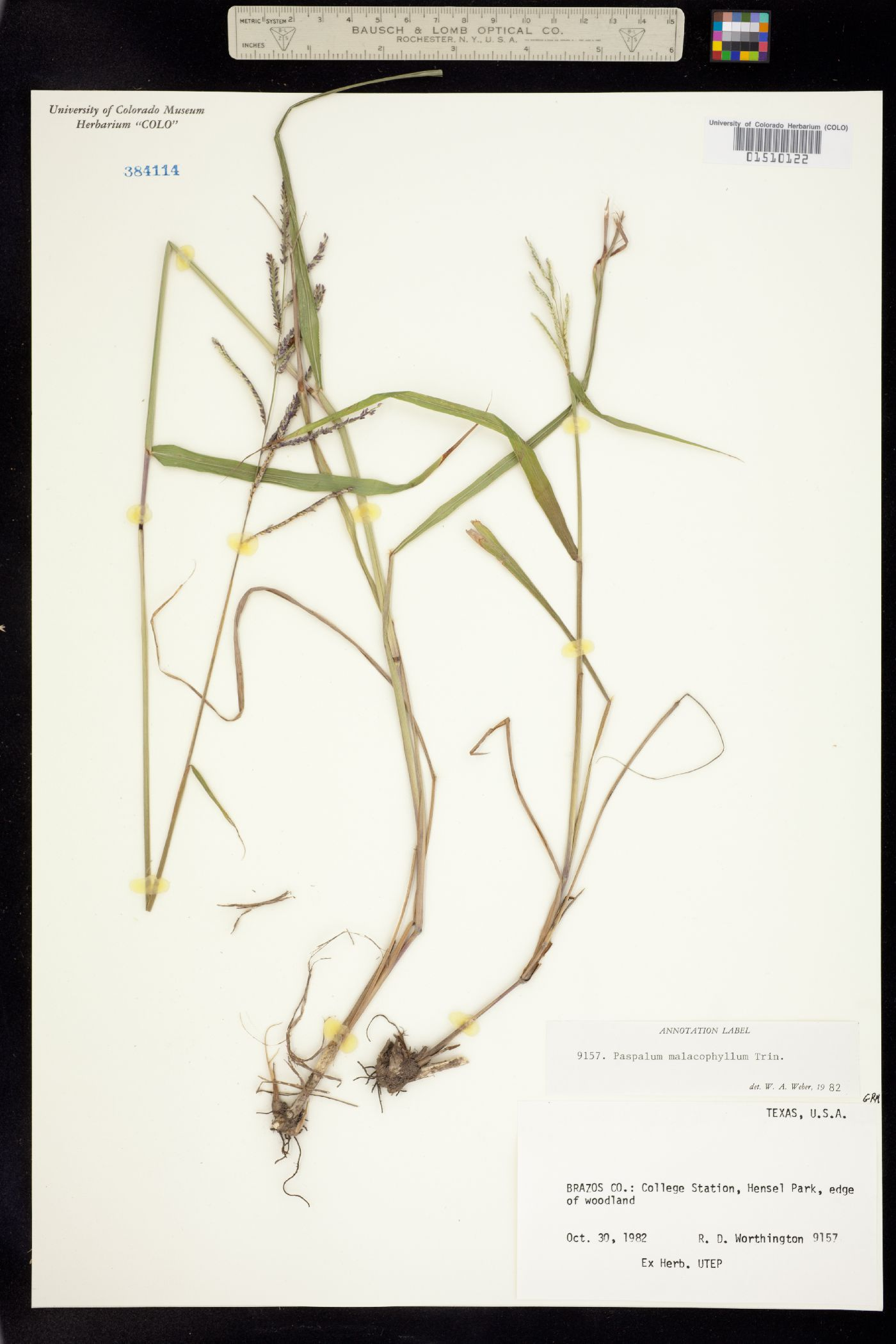 Paspalum malacophyllum image