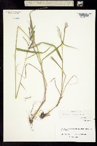 Image of Paspalum malacophyllum