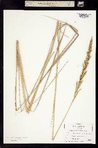 Paspalum quadrifarium image