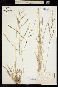 Paspalum tenellum image