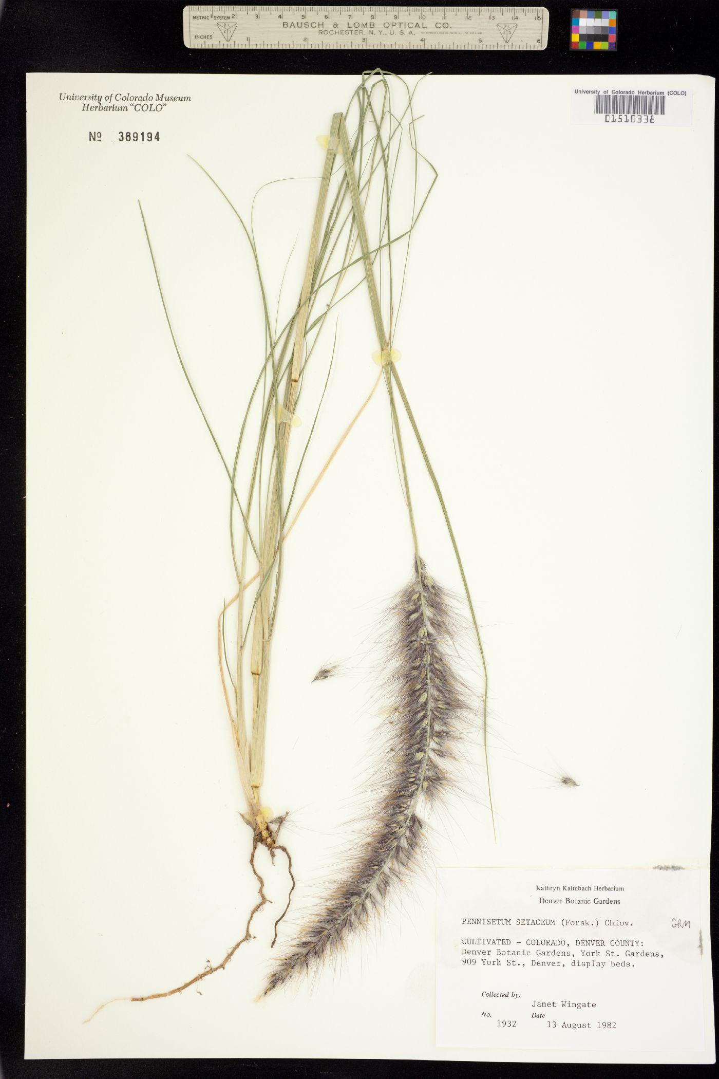 Pennisetum image