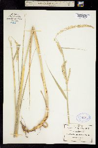 Image of Pennisetum crinitum