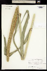 Image of Pennisetum glaucum