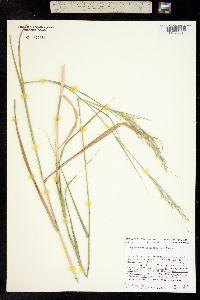 Piptatherum miliaceum image