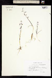 Pleuropogon sabinei image