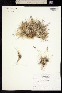 Image of Poa abbreviata