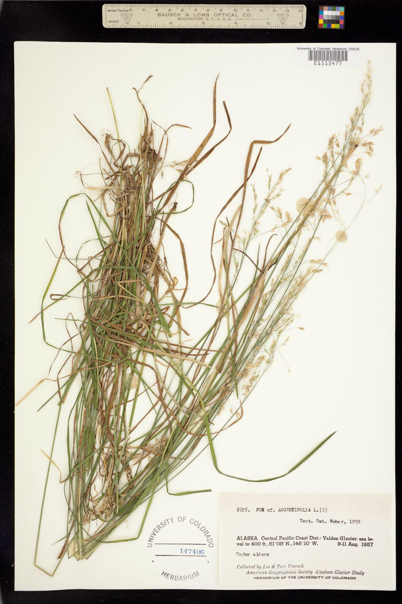 Poa angustifolia image