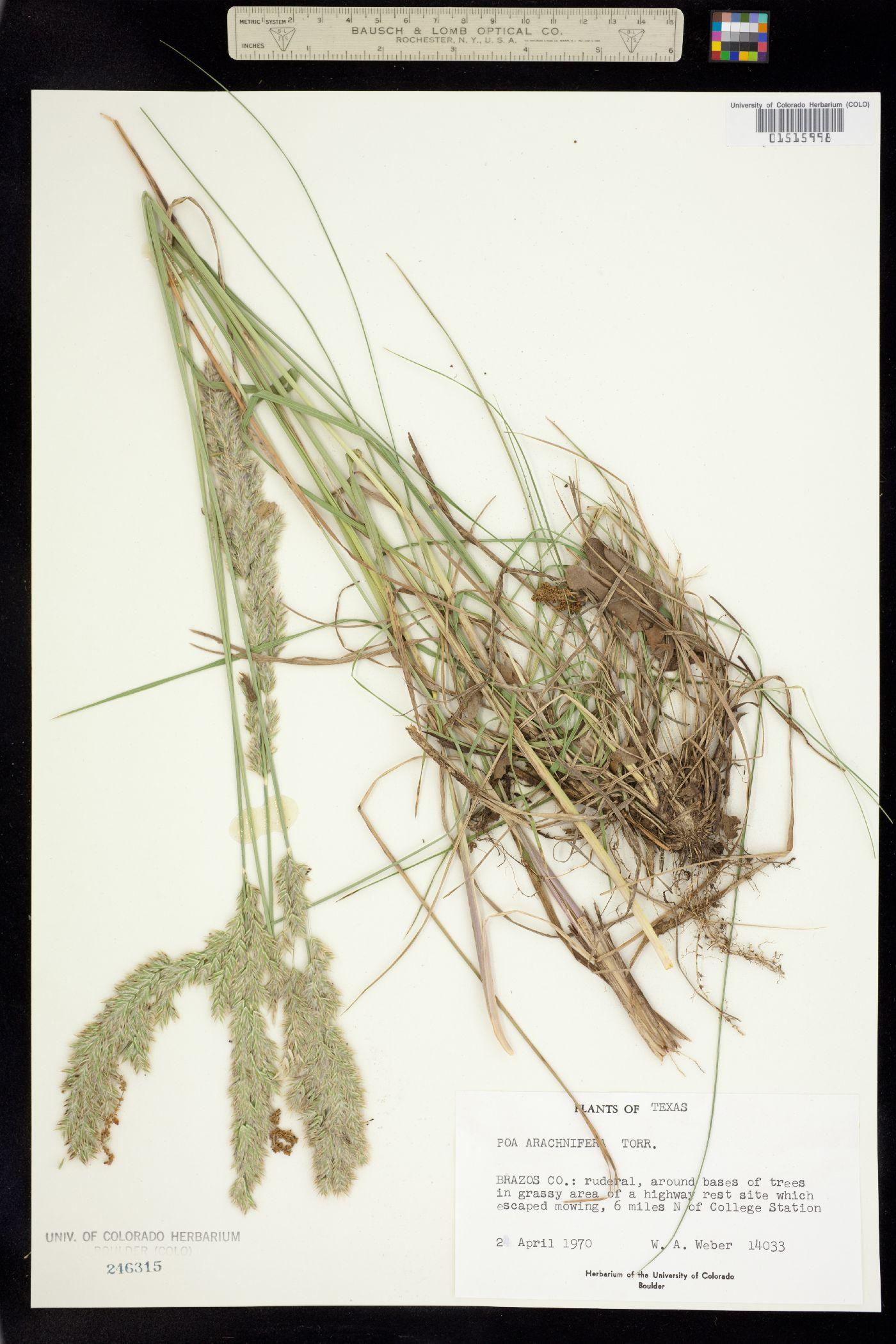 Poa arachnifera image