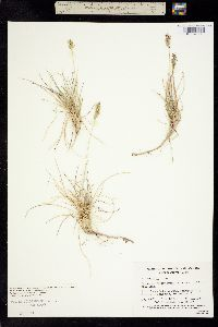 Image of Poa confinis