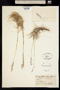 Poa curtifolia image