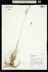 Poa fendleriana image