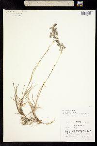 Poa macrocalyx image