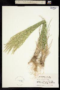 Poa secunda ssp. juncifolia image