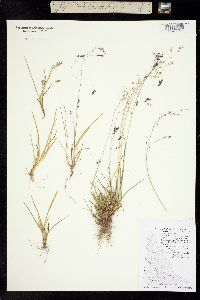 Poa paucispicula image