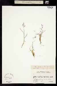 Image of Poa paucispicula