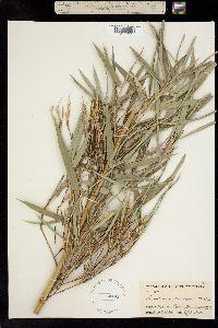 Image of Arundinaria macrosperma