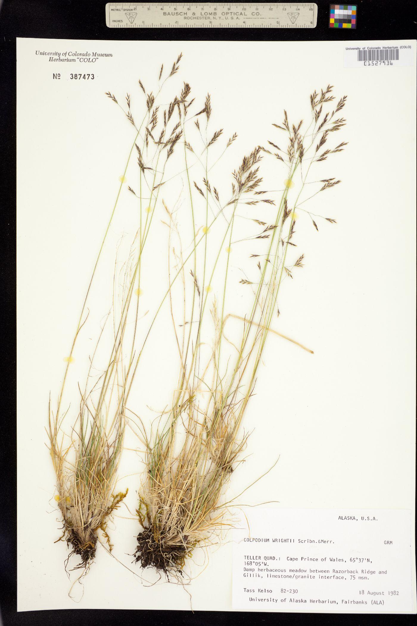 Puccinellia wrightii image