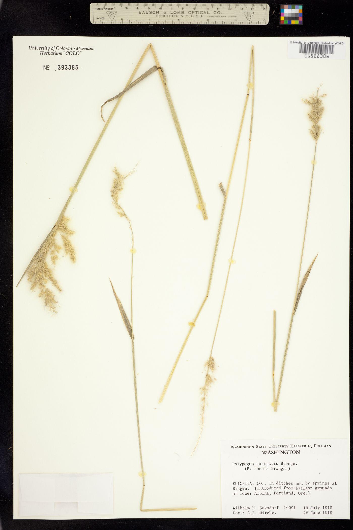 Polypogon australis image
