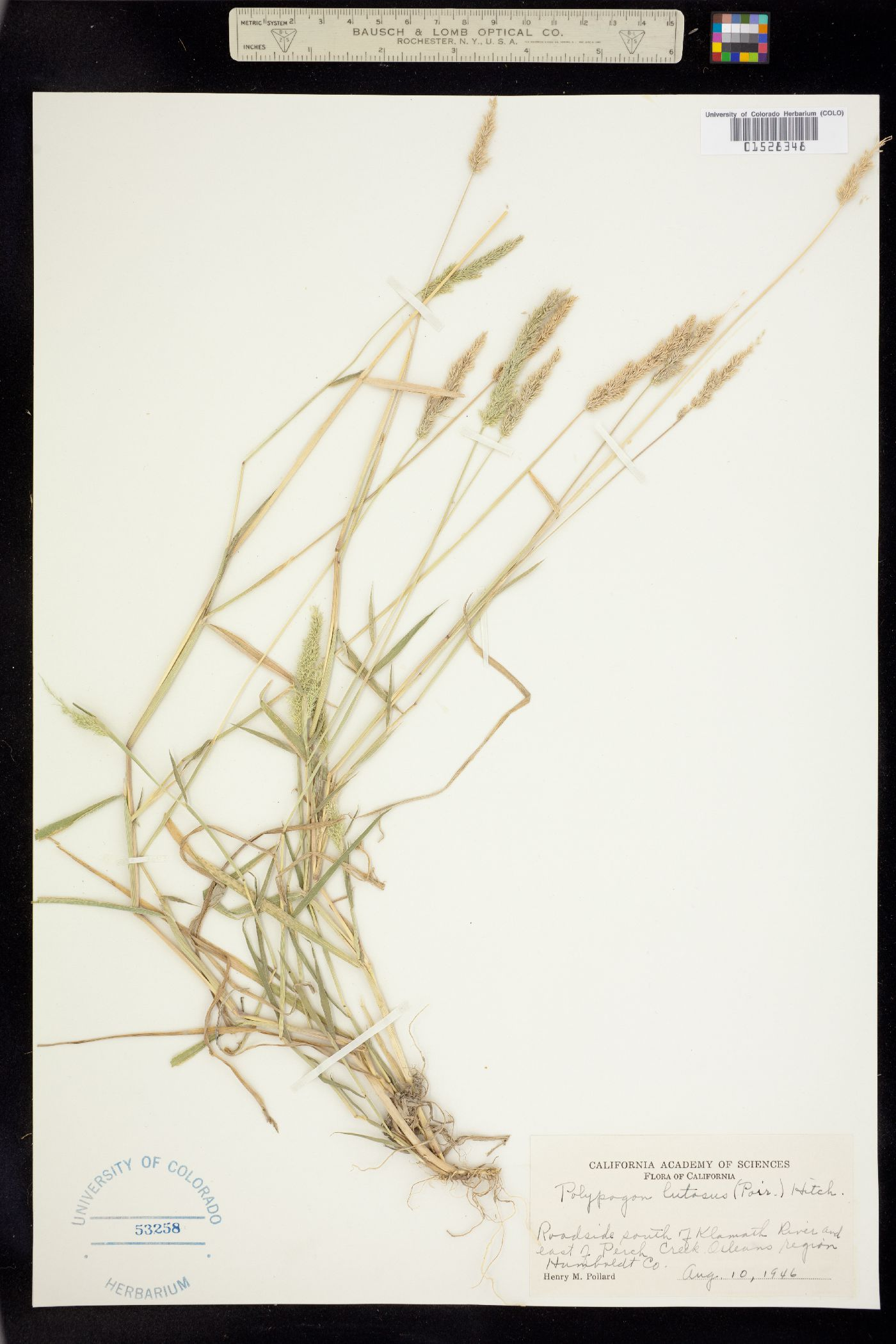 Polypogon lutosus image