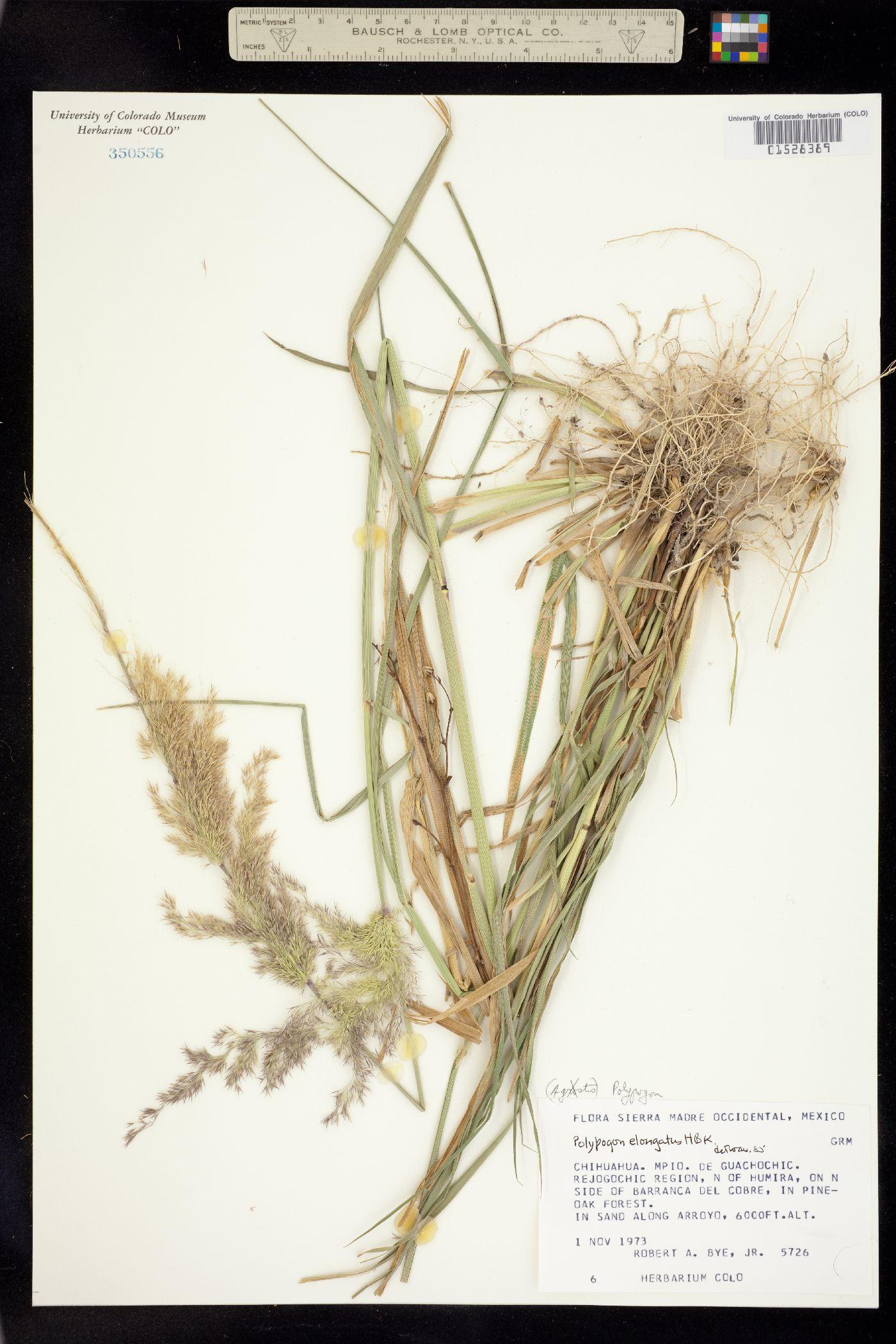 Polypogon image