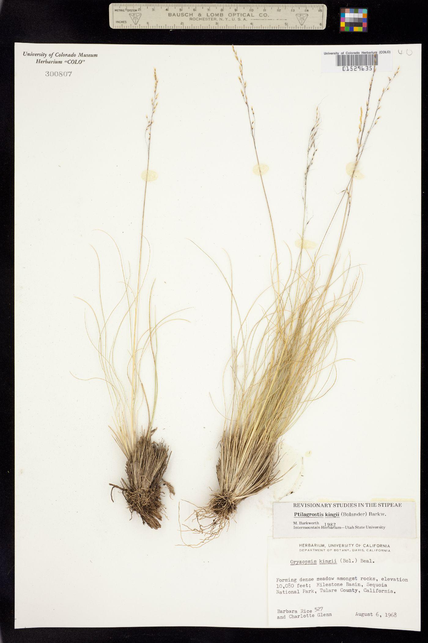 Ptilagrostis kingii image