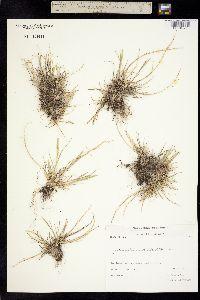 Puccinellia coarctata image