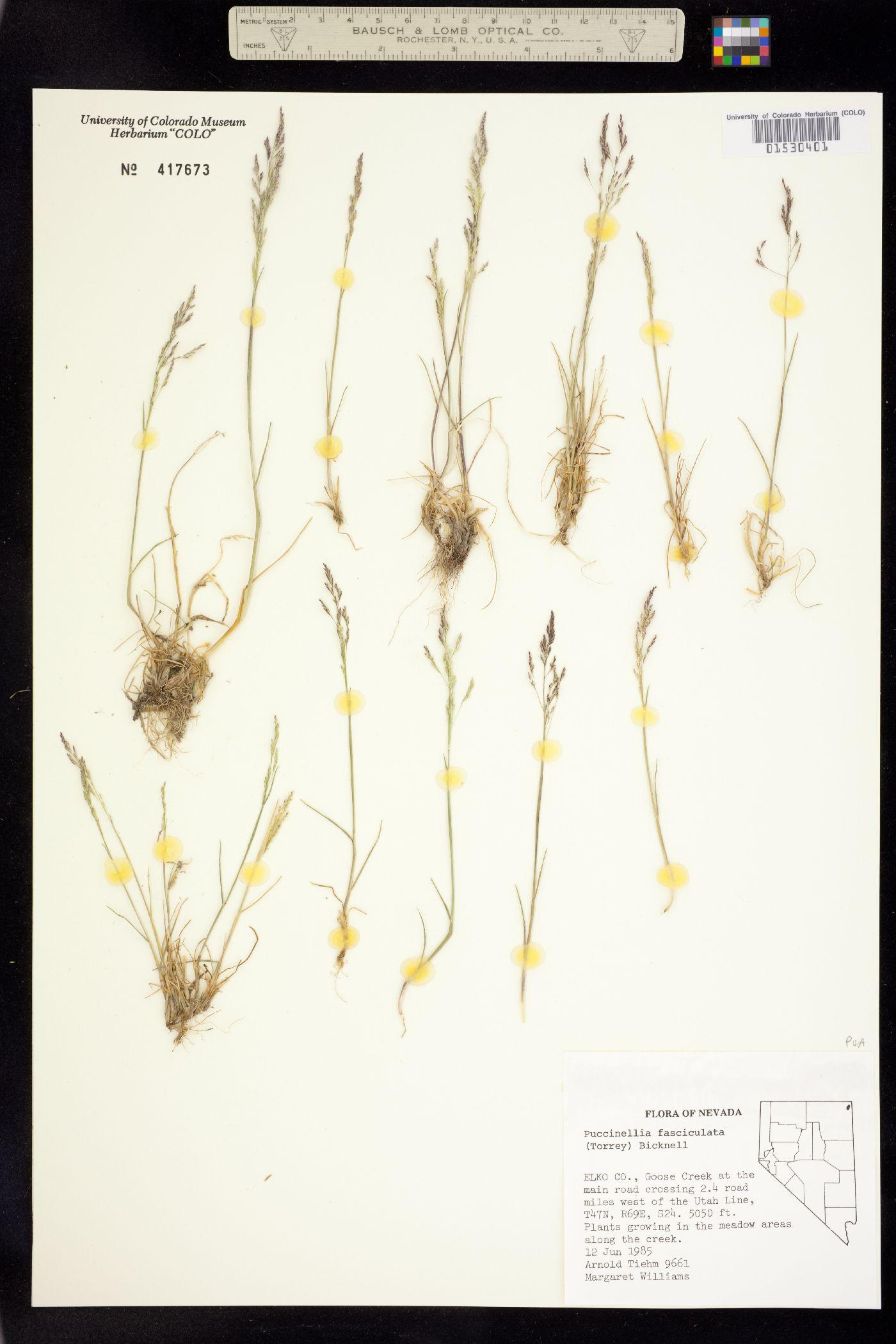 Puccinellia fasciculata image