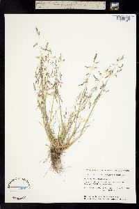Image of Puccinellia hauptiana