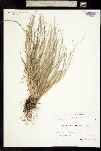 Puccinellia groenlandica image