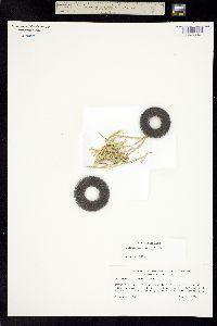 Puccinellia simplex image