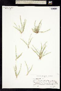Image of Puccinellia simplex